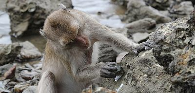 Macaque using stone tool
