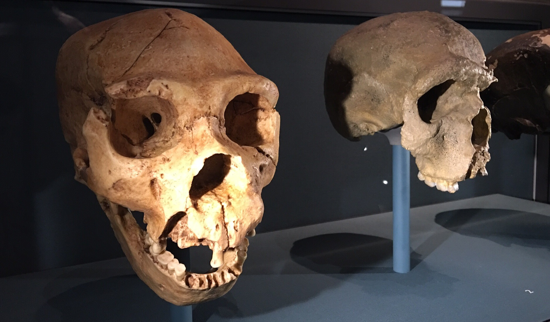 Neanderthal skull casts
