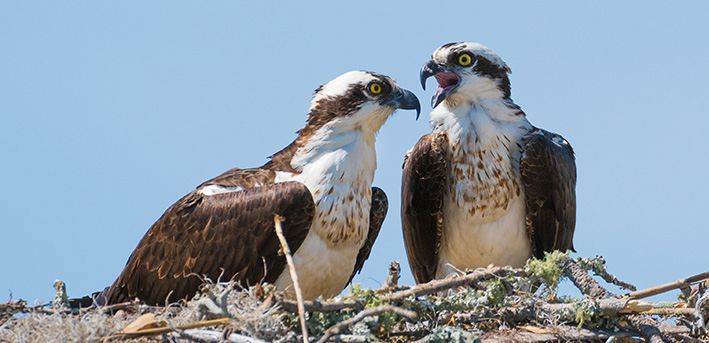 A pair of Osprey in a nest