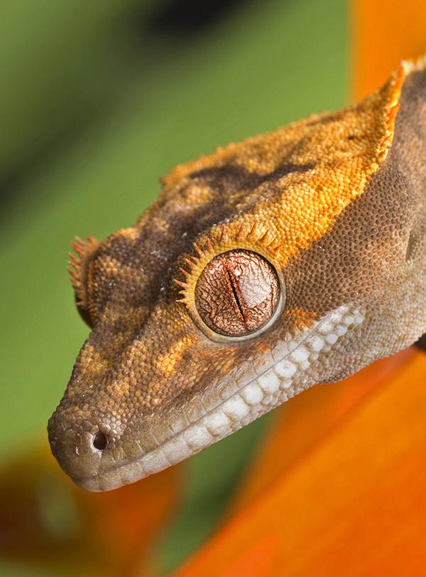 Crested Gecko on Orange Foliage